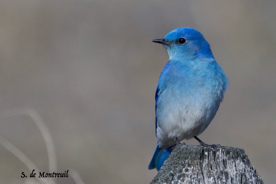 beautiful male mountain Bluebird
