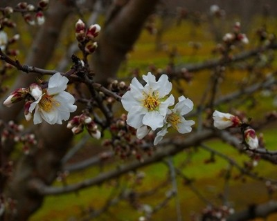 Almond Blossoms 1