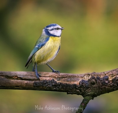 The Resting Blue Tit