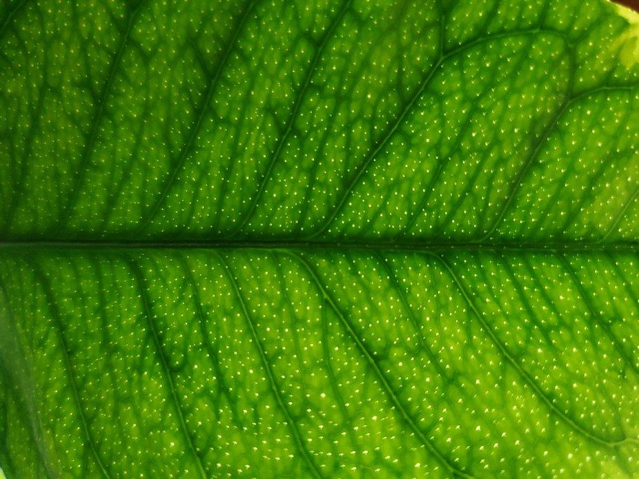 Lemon Tree Leaf