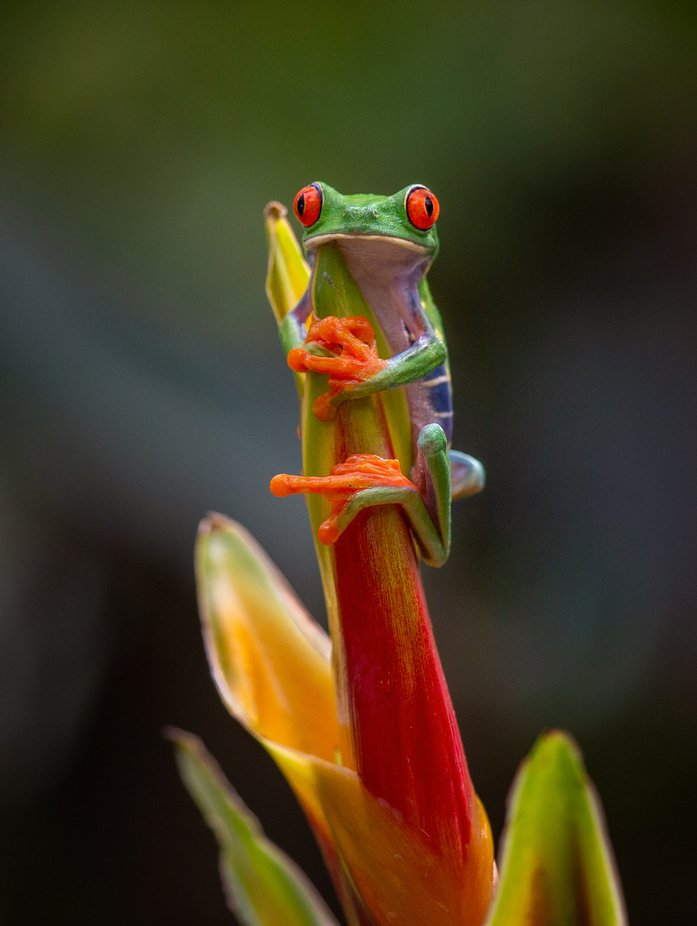 Red-Eyed Tree Frog. by Alfredo_Jose - Colorful Macro Photo Contest