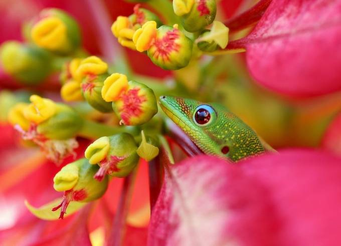 Gecko Life by Jdluehrs - Colorful Macro Photo Contest