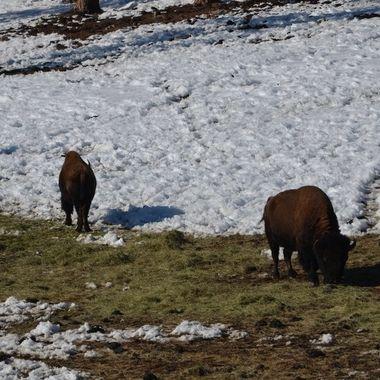 Genessee Bison