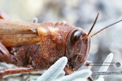 Grasshopper (cavalletta)