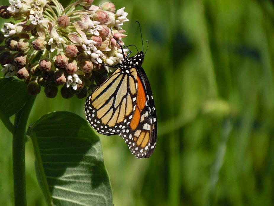 Monarchs on 7-5-2018