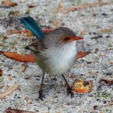 Australian Splendid fairy-wren male