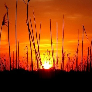 Reed Silhouette Sun Set