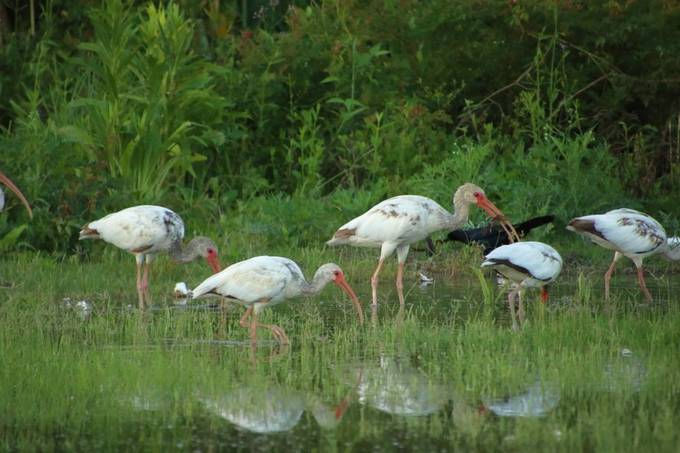 Transitioning white ibis juveniles feeding in early morning