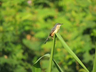 Old world flycatcher