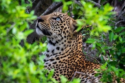 A young blue eyed male leopard stares up in the green foliage