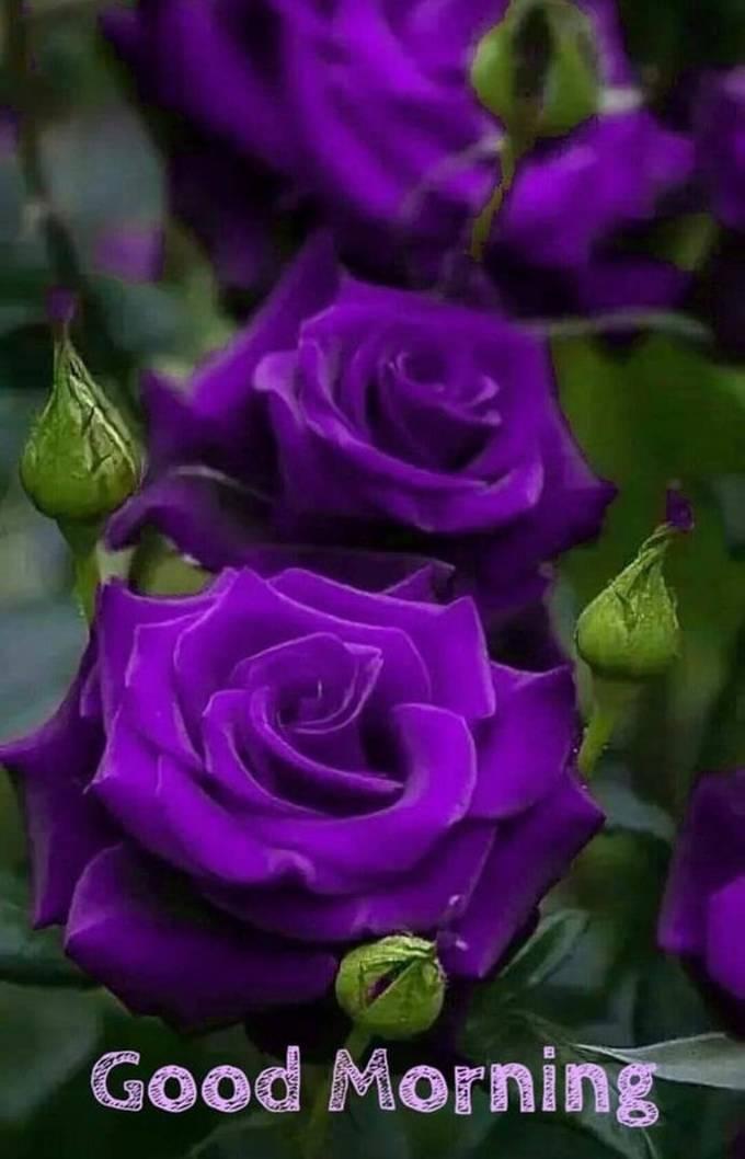 Purple roses - ViewBug.com