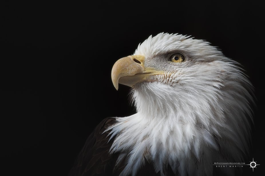 It is difficult to go wrong when a bald eagle poses for you, especially when it seems they gave y...