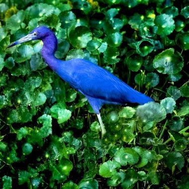 Baby Blue Heron on SJR