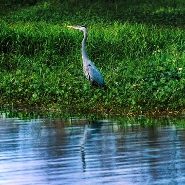 Beautiful Blue Heron at SJR