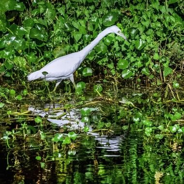 White Heron Searching for Food on SJR