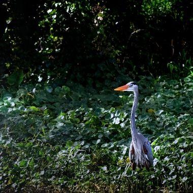 Blue Heron on the SJR