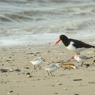 oystercatcher and waders, Texel, Holland