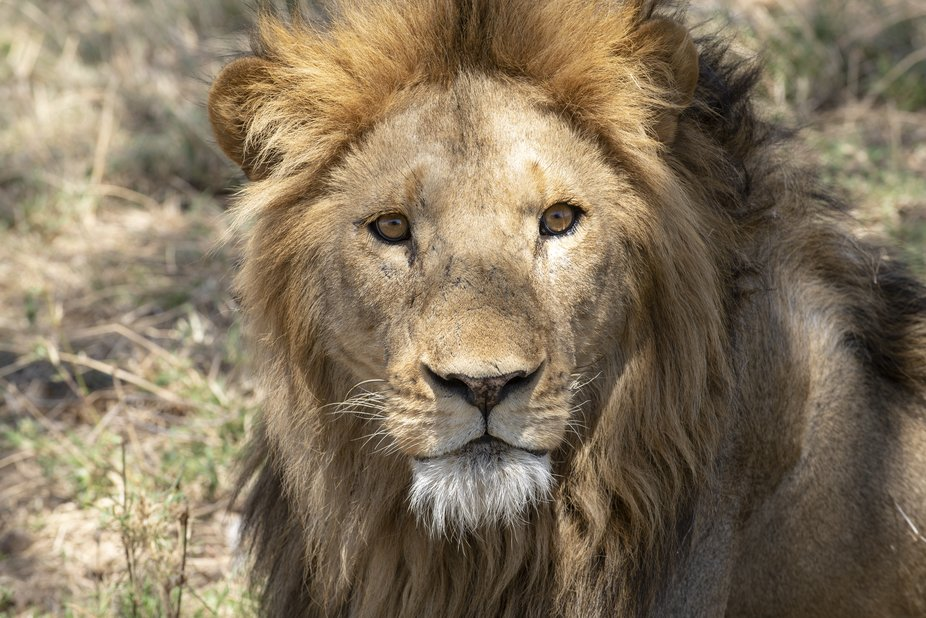 The proud look of a beautiful young male lion in the Serengeti Nat'l Park, Tanzania.