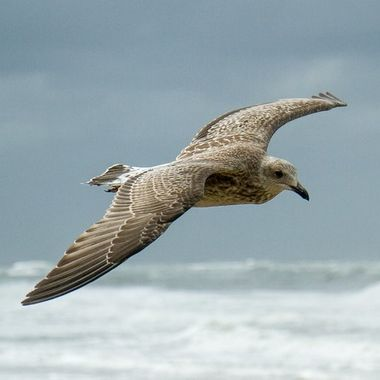 Young seagull riding the wind, Texel, Holland
