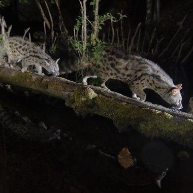 La fotografia estroboscopica sobre animales nocturnos en movimiento le dan una trasparencia irreal. Sierra de Francia-Salamanca-Spain