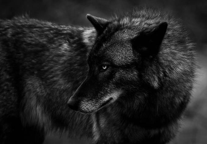 Wolf Profile of Nico.JPG by troymarcy - Social Exposure Photo Contest Vol 21