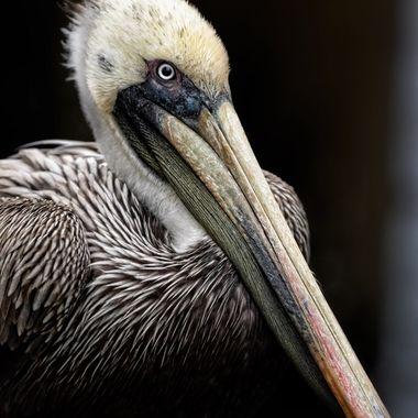 Pelican-Portrait