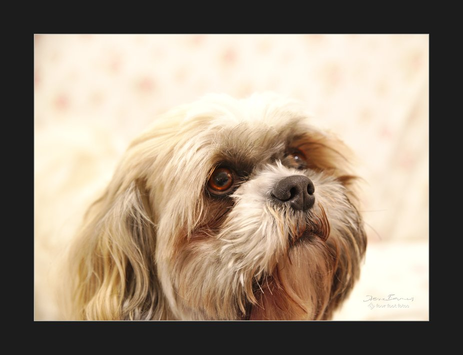 Amadeus, our ShihTzu, looking up in hope. He's always the same, a beautiful, gentle dog with gorgeous eyes. It's so nice to have him as my occasional Four Foot Fotos doggy muse.  K1SB3098