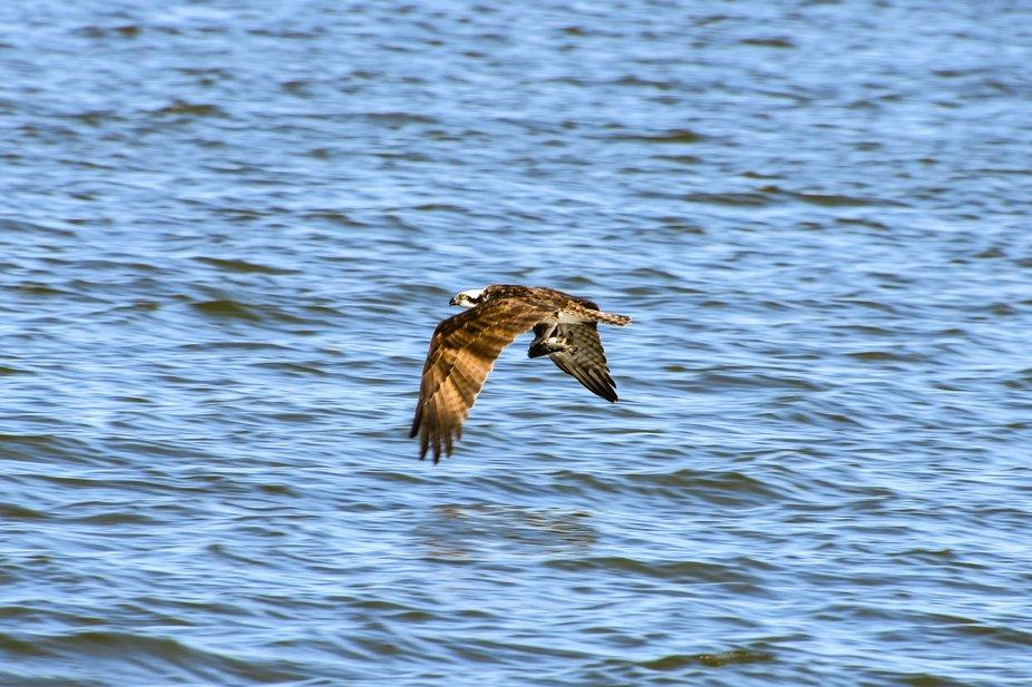 Osprey llunch