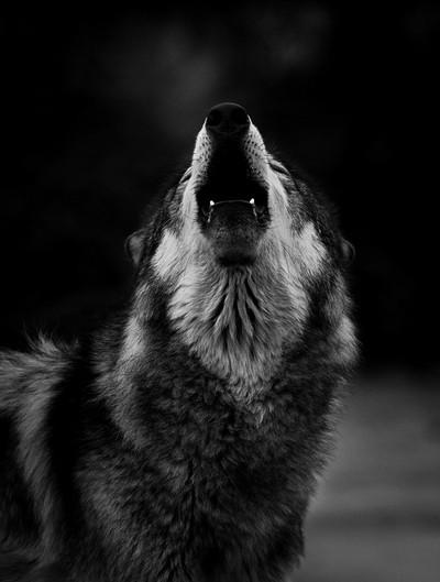 A Cold Howl.JPG
