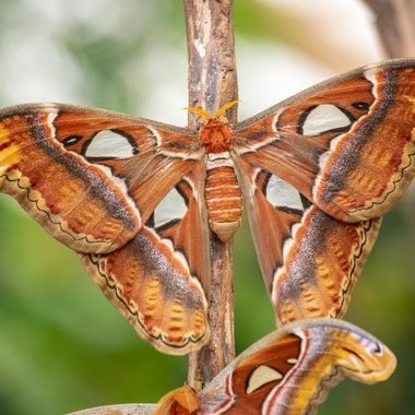 a large Atlas moth resting on a branch showing off its wings