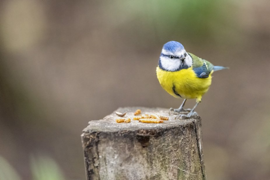 A colourful mix of blue, yellow, white and green makes the blue tit one of our most attractive an...