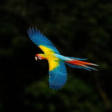 This is a hybrid between the Great Green Macaw and the Scarlet Macaw.