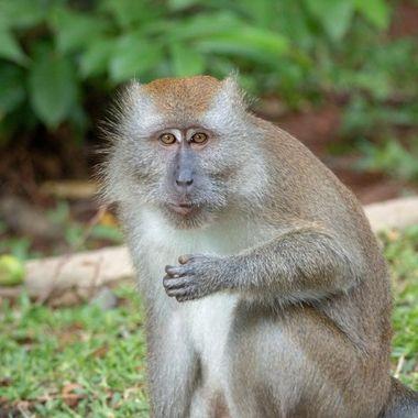 Monkey at the terrain of the Banyan tree hotel, Bintan, Indonesia