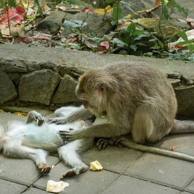 Mother searching for flees on her baboon, Ubud, Bali