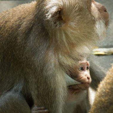 Baby monkey enjoying breastfeeding