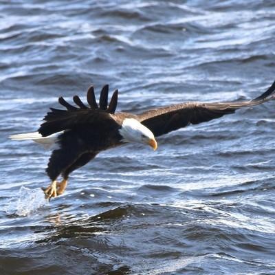 Eagle catching fish Lock & Dam 14 Mississippi River