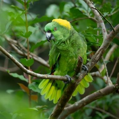 Yellow-naped Parrot -01988