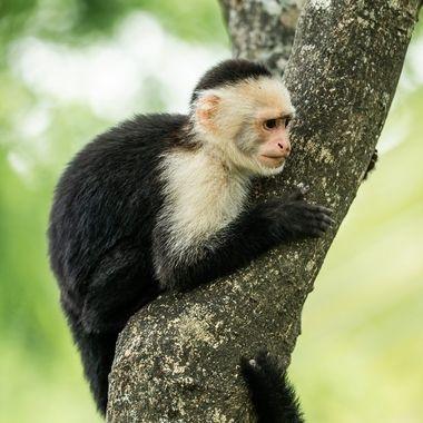Panamanian white-faced capuchin monkey-01844