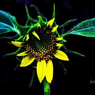 Sunflower in morning light