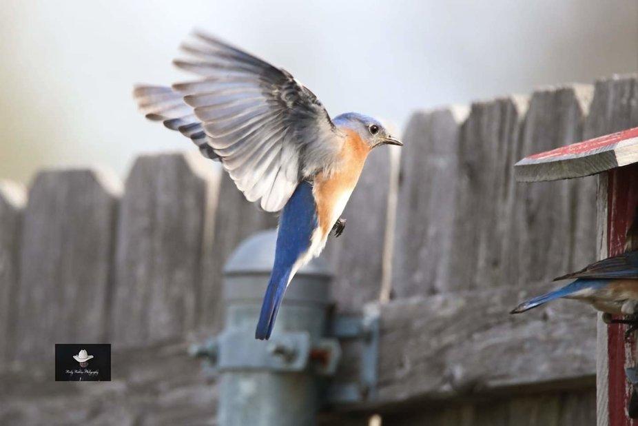 Eastern Bluebird in flight.