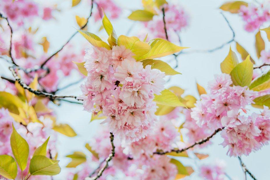 Spring Bossoms