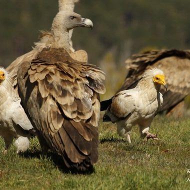 Pareja de Alimoches (Neophron pernopterus) y Buitre leonado ((Gyp fulvus), ambas especies son buitres. Los pongo juntos para comparar tamaños.