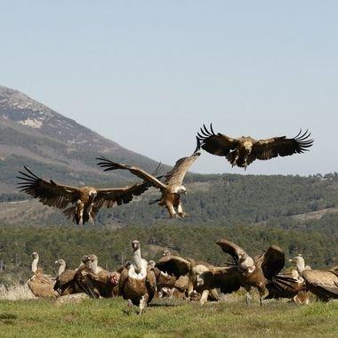 Buitres leonados (Gyp fulvus), llegando para comer algun animal muerto. Sierra de Francia-Spain