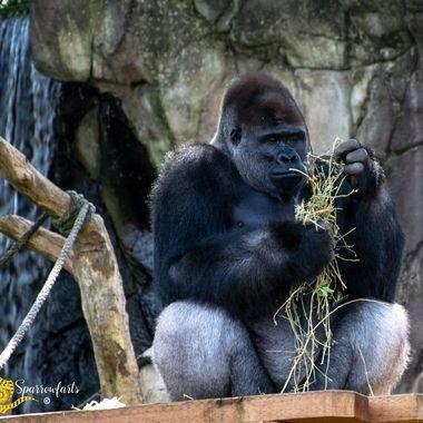 Magnificent Silver Back Gorilla
