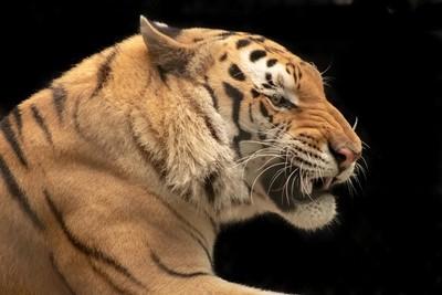 Catty Shack Tiger