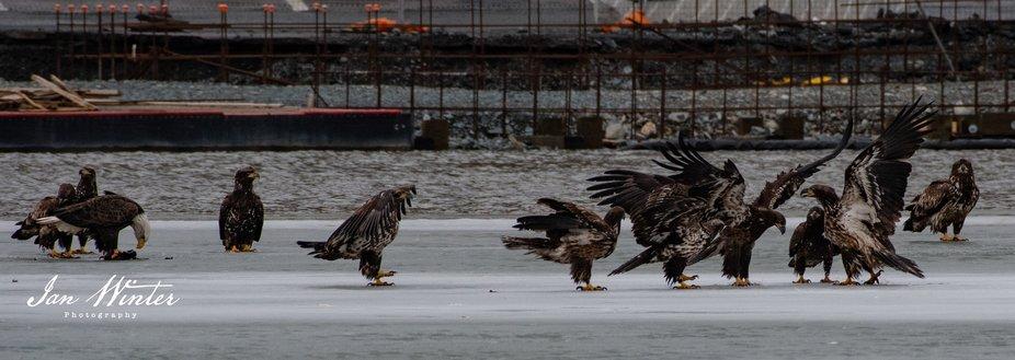 Bald Eagle-19-047