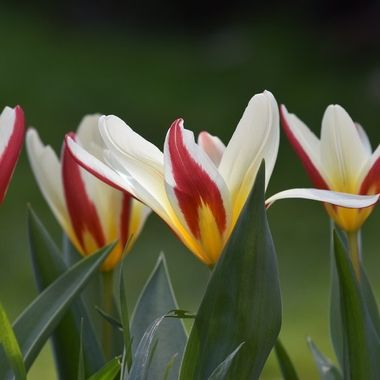 Beautiful Tulips in a row