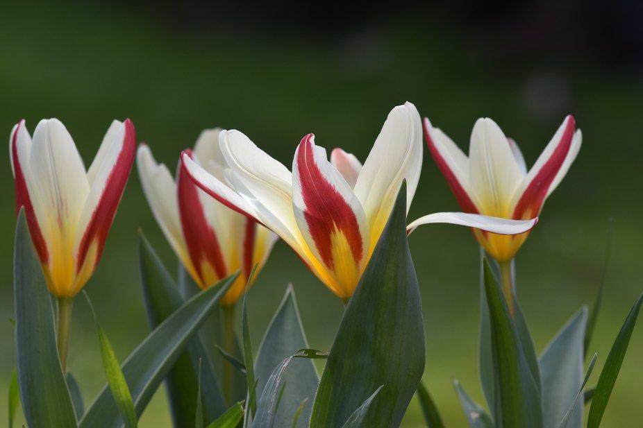 Beautiful Tulips in a row