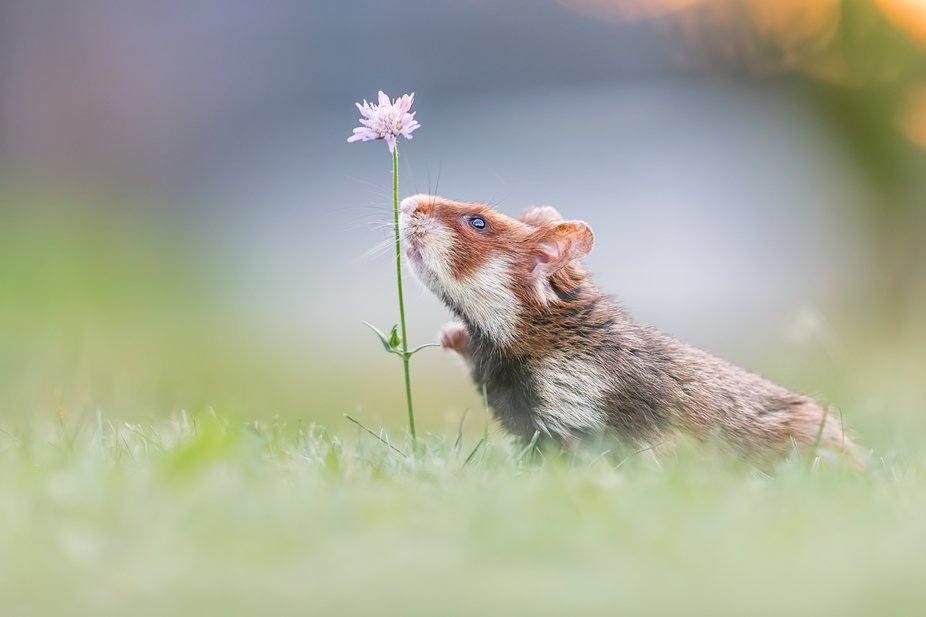 A wild European hamster [Cricetus cricetus] in Austria. Please don't confound them with ...