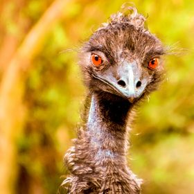 Friendly Emu